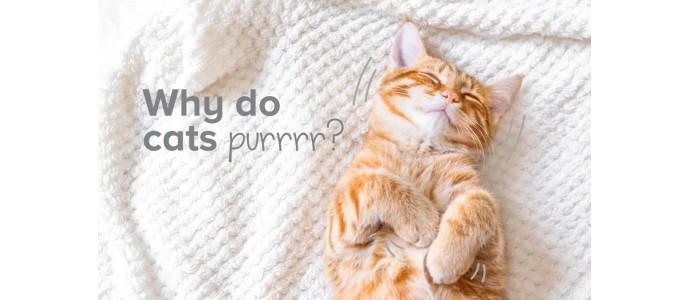 Dlaczego koty mruczą? Tajemnica wyjaśniona
